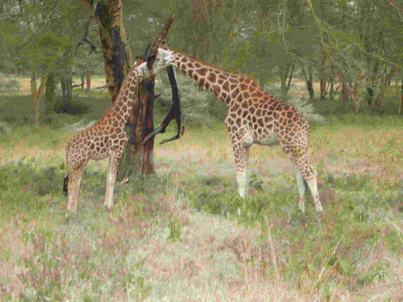 2 Giraffen Kenia Urlaub Giraffe Safari Urlaubsbilder Giraffenbilder
